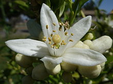 This is apparently what an orange blossom looks like. Thanks Wikipedia.